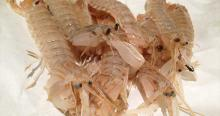 Mantis garnaal, bidsprinkhaankreeft. De squilla mantis.